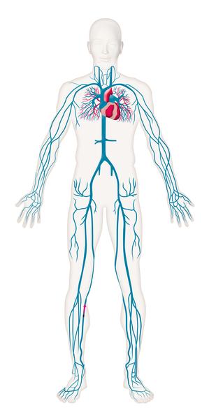De kanaler som blodet följer i kroppen